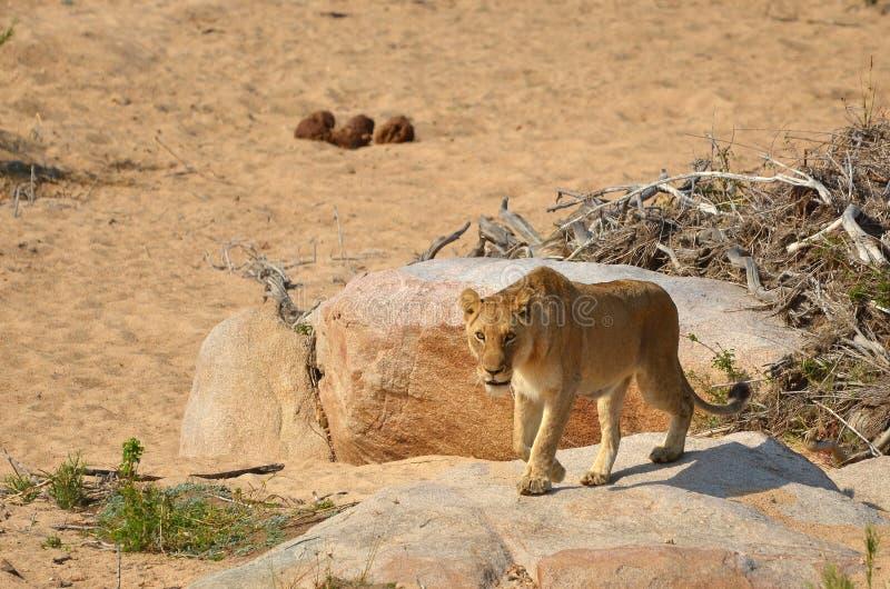Lioness (Panthera leo) fotografie stock libere da diritti