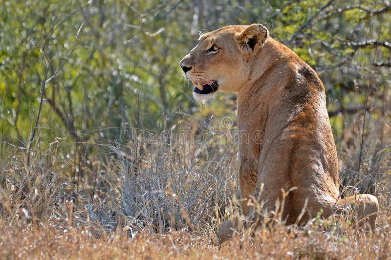 Lioness (Panthera leo) fotografia stock