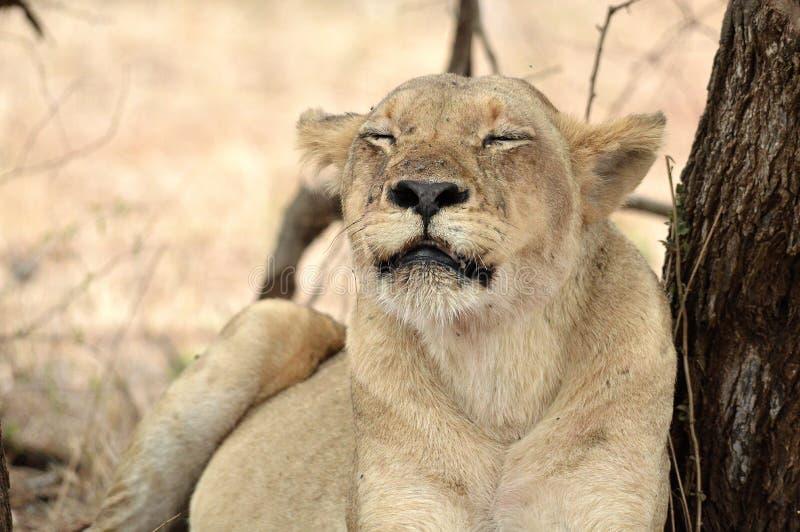 Lioness (Panthera leo) fotografie stock