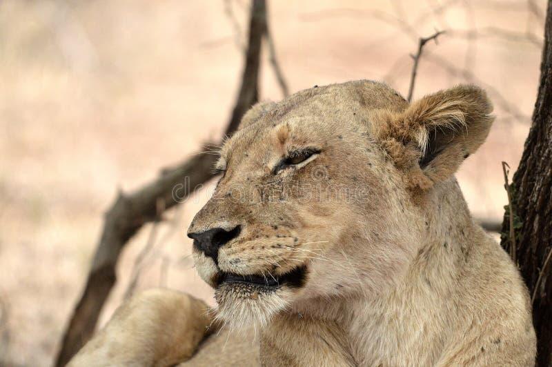 Lioness (Panthera leo) immagine stock