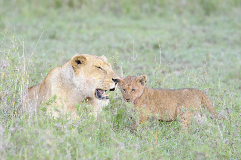 Lioness (Panthera leo) with cub stock image