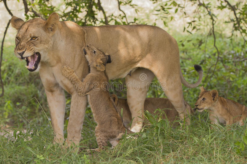 Lioness (Panthera leo) with cubs royalty free stock photo