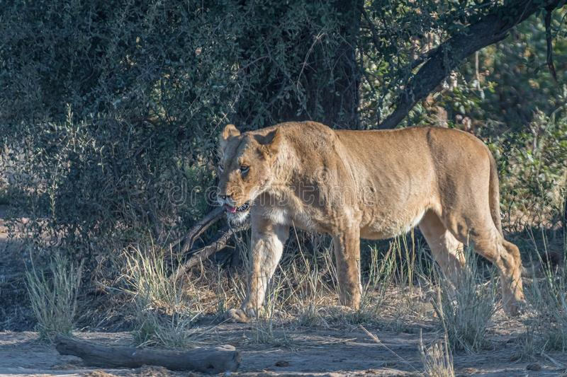 Lioness, Panthera leo, with full belly, walking. A lioness, Panthera leo, with full belly, walking through grass stock photos