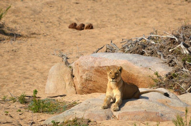 Lioness (Panthera leo) stock photos