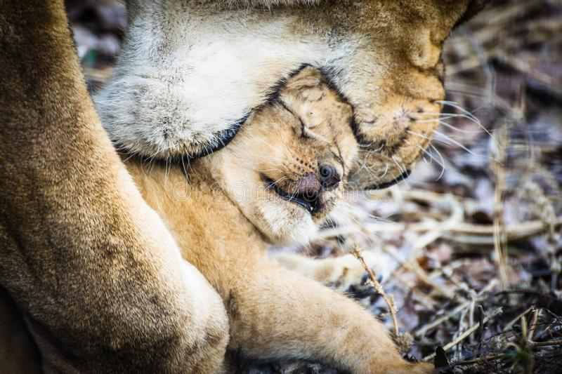 Liones mother Panthera leo carries her baby in the mouth stock image