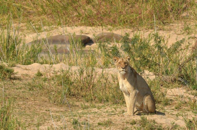 Lioness (Panthera leo) stock image