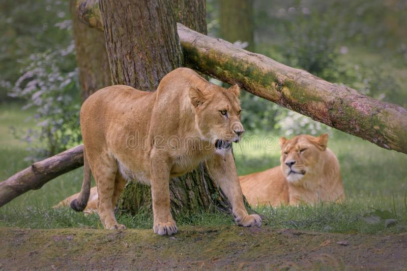 Lioness, Panthera leo is a species in the family Felidae. Wildlife and animal photo stock photography