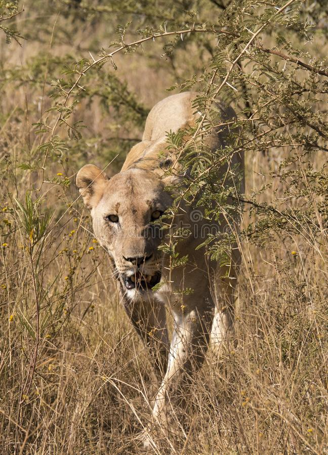 A lioness walking through the bushes towards the camera. A lioness, Panthera leo, walking through the grass and thorn bushes towards the camera and photographer royalty free stock photography