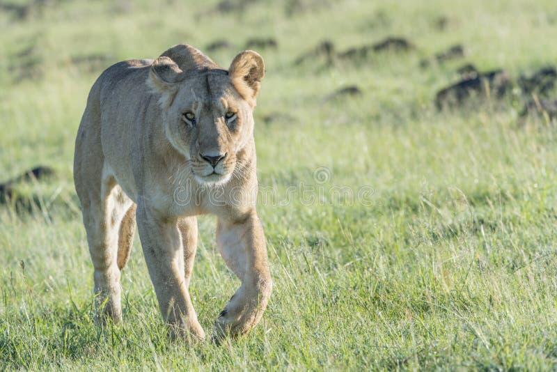 Lioness walking on savannah stock photography