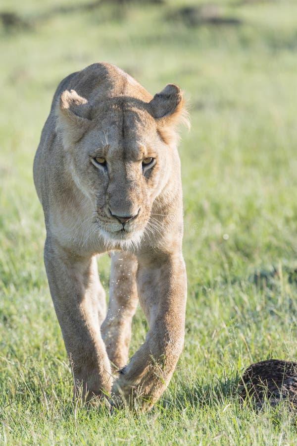 Lioness walking on savannah towards camera royalty free stock photos