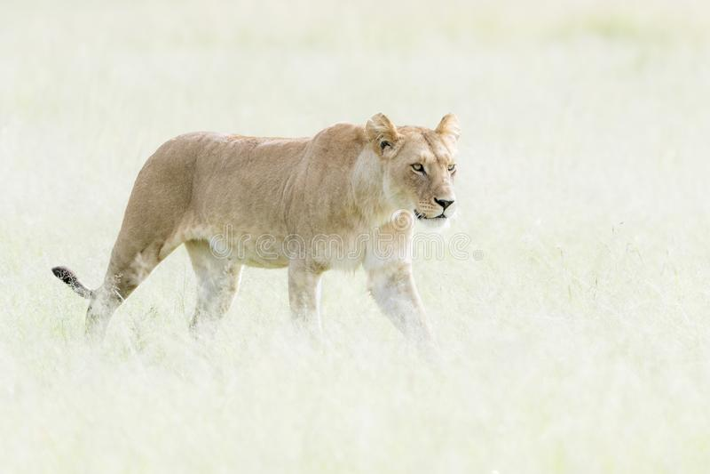 Lioness Panthera leo walking in savannah. Looking in distance, Masai Mara, Kenya royalty free stock photography