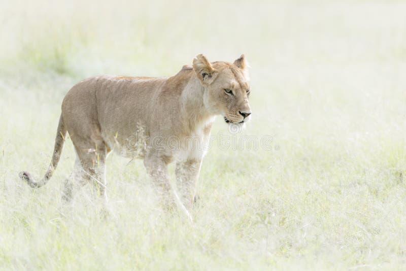 Lioness Panthera leo walking in savannah. Masai Mara, Kenya stock photo
