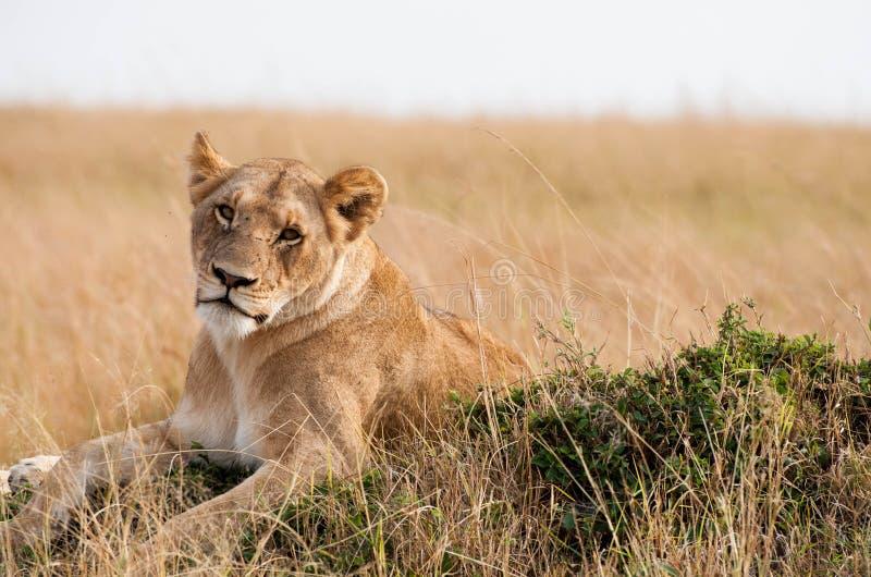 Lioness pigro fotografie stock