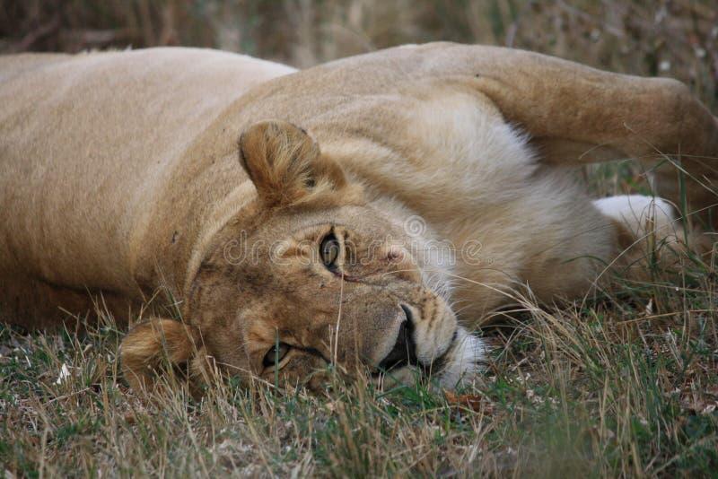 Lioness pigro immagini stock libere da diritti