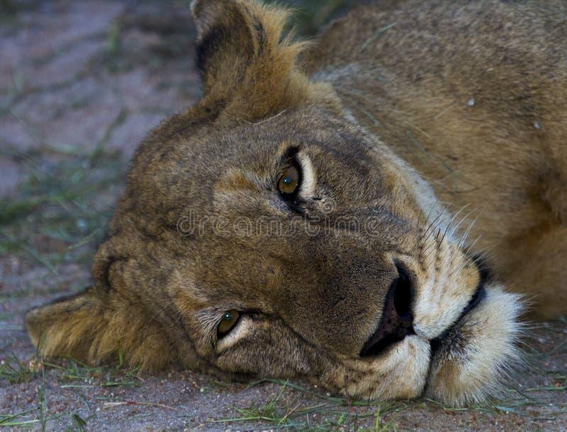 Lioness pigro fotografia stock