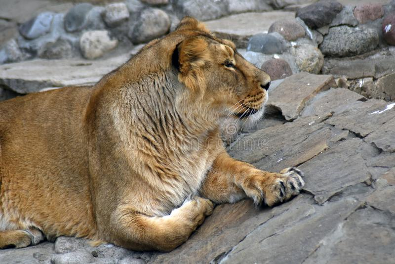 Lioness portrait, the animal lays on grey stones stock images
