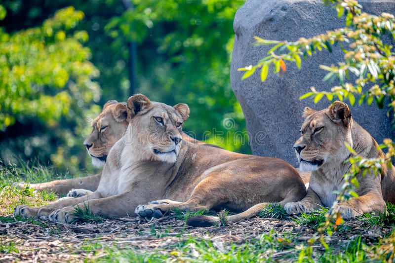 Lioness of pride resting under tree. Pride of lions or Panthera leo resting in shade of tree stock images