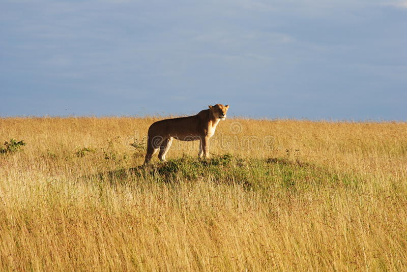 Lioness Prowling immagine stock