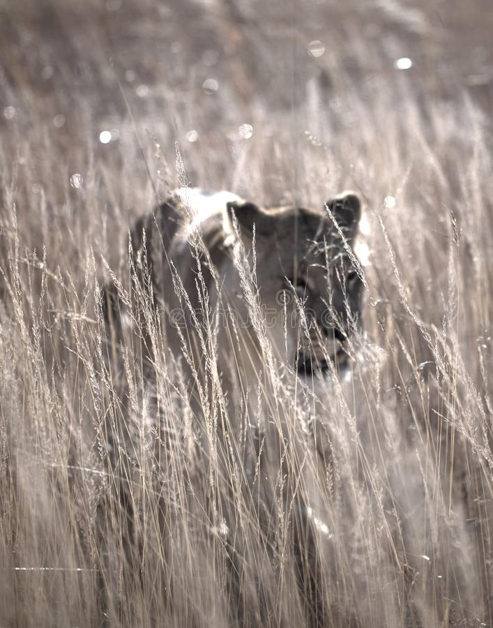 Lioness prowling royalty free stock photos