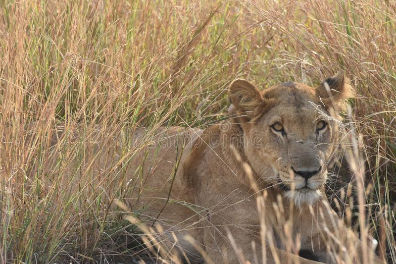 Lioness in Queen Elizabeth National Park, Uganda. Face of a female lion in the savanna grass in Queen Elizabeth National Park in Uganda stock photo
