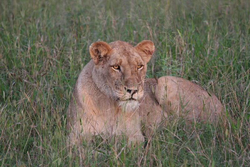 Download Lioness resting stock image. Image of green, mother, life - 15813577