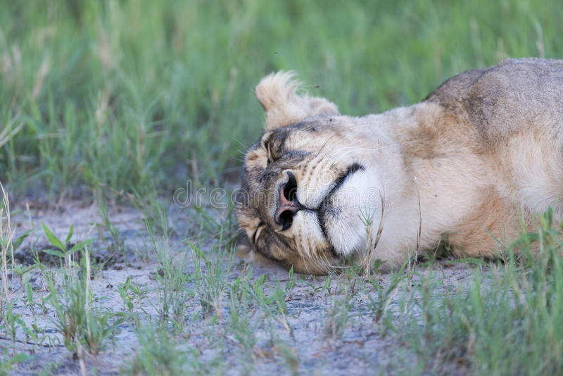 Download A Lioness resting stock photo. Image of lions, gold, delta - 28495752