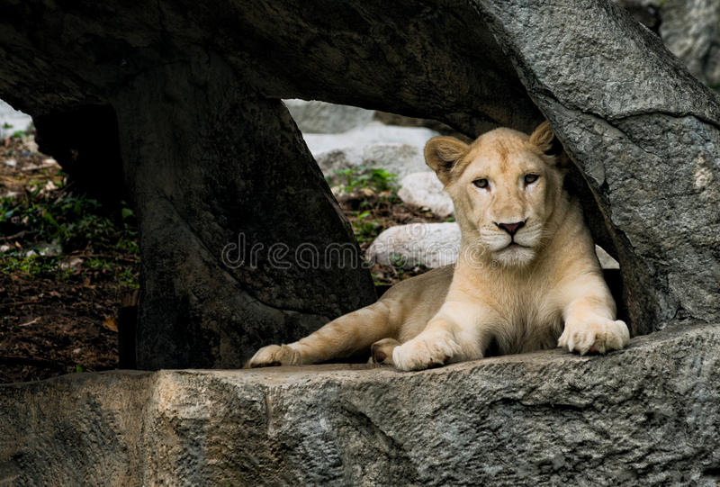 Download Lioness resting stock photo. Image of kitten, africa - 32002030