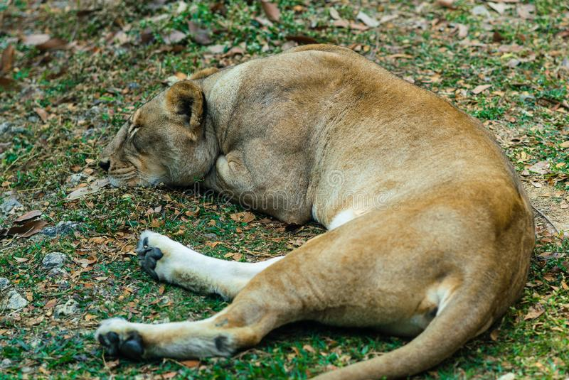 Lioness resting on the ground stock photography