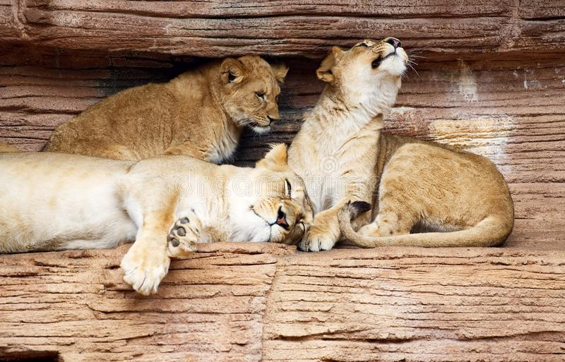 A lioness with her two cubs. A lioness resting with her two cubs on a rocky shelf in a zoo stock image