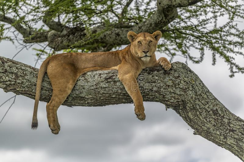 Lioness resting high up on a branch of an acacia tree. royalty free stock image
