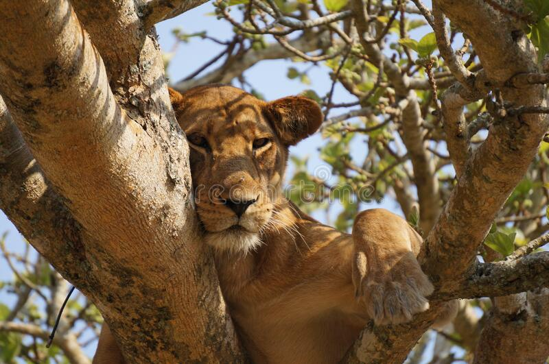 Lioness Resting in a Tree stock images