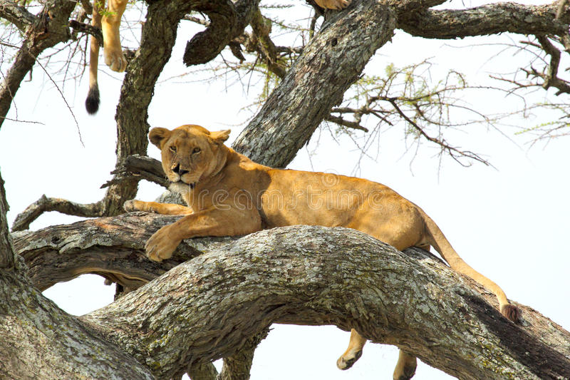 Lioness resting on a tree. A lioness, Panthera Leo, resting on a tree in Serengeti National Park, Tanzania stock images