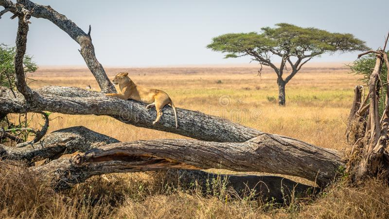 Lioness resting on a tree, at Serengeti National Park, Tanzania. Famous wildlife destination in Africa stock image