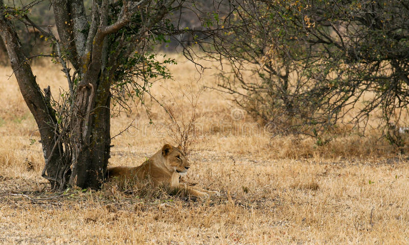 Lioness Resting. Under a tree stock photos