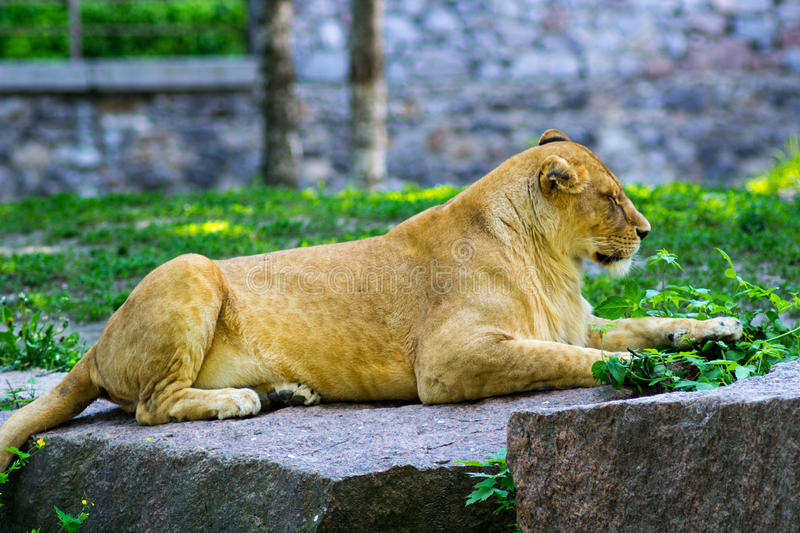 Lioness resting at zoo. Lioness with closed eyes is resting at zoo stock image