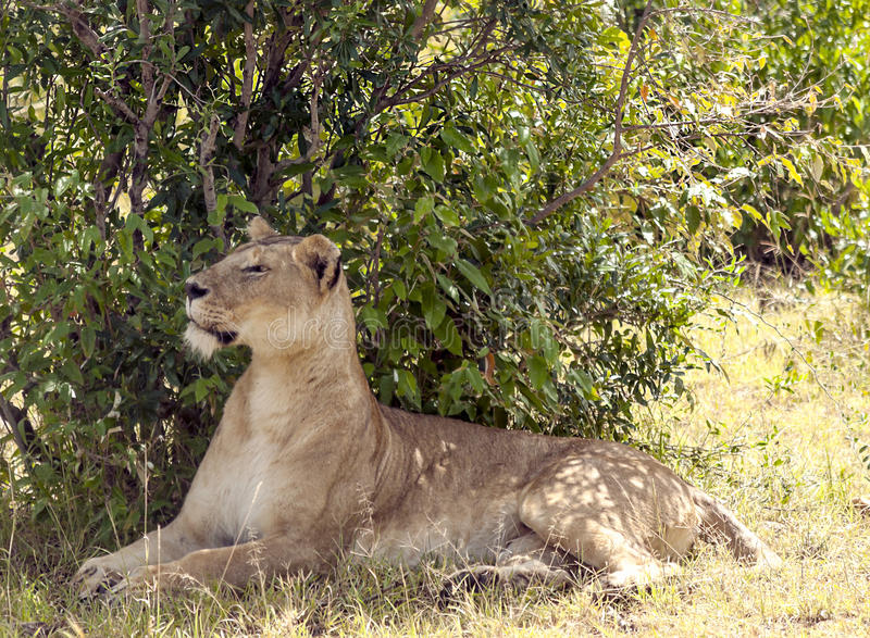 Lioness reting. Lioness resting in the branches of a tree. It is an image vertically on a sunny day stock photo