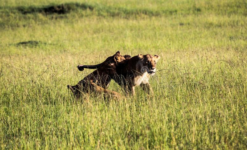 Lioness returning to her excited cubs. After drinking at a waterhole, Maasai mara, Kenya royalty free stock images