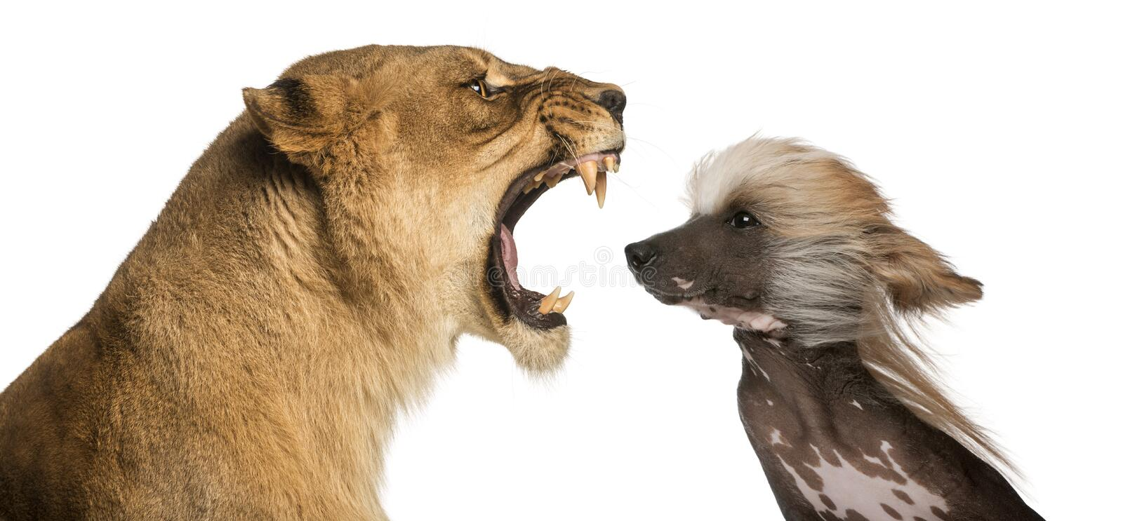 Lioness roaring at a Chinese Crested Dog's face. Close-up of Lioness roaring at a Chinese Crested Dog's face stock photo