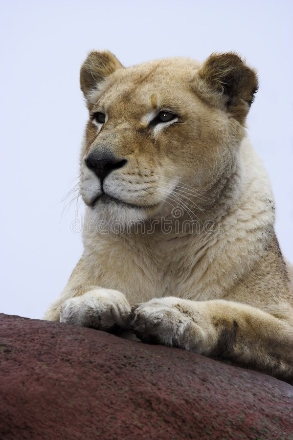 Lioness on rocks. A Lioness on a rock royalty free stock photo