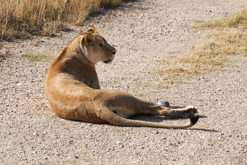 Lioness. In safari park taigan belogorsk crimea royalty free stock images