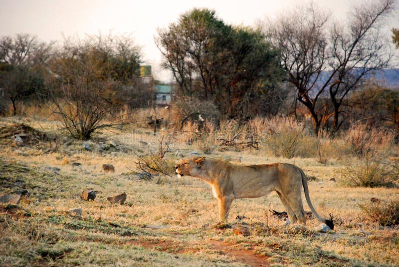 Lioness on Safari in South Africa. Lioness preparing to roar in early morning in game reserve Madikwe South Africa stock photography