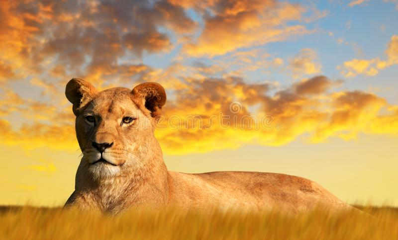 Lioness on the savannah at sunset. royalty free stock photos