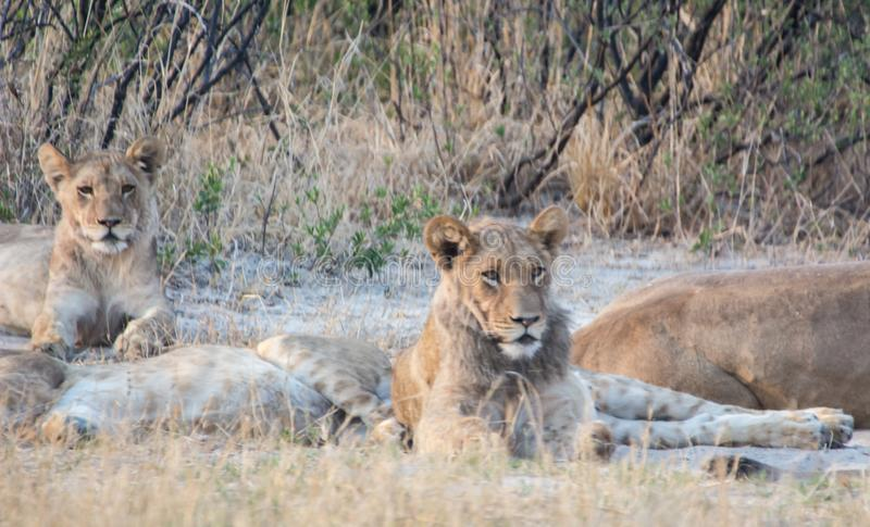 Lioness in the Savannah of in Zimbabwe, South Africa stock photography