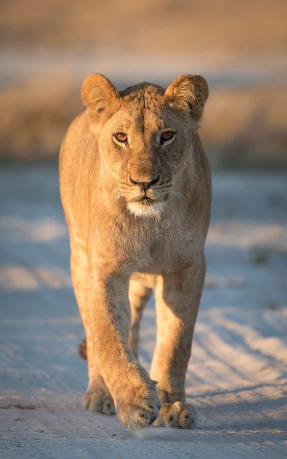 Lioness, Savuti, Botswana. Young Lioness in the Savuti area of Botswana royalty free stock photos