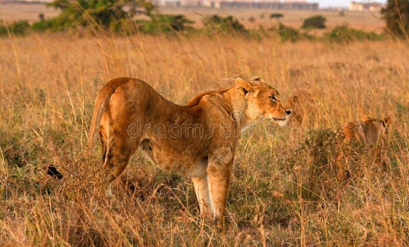 Lioness scanning savannah in Kenya stock photos