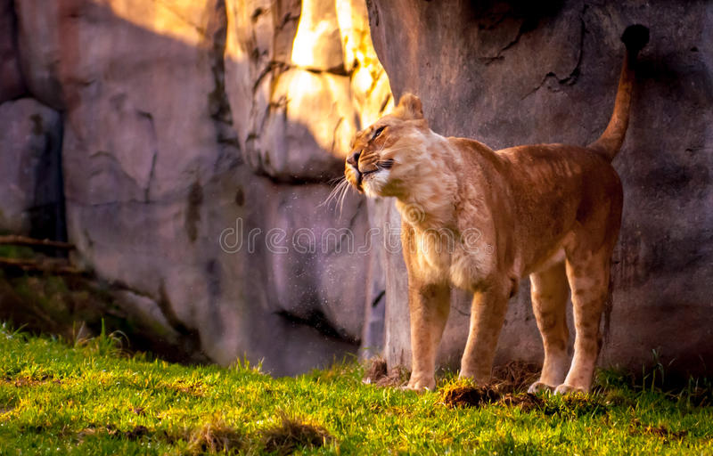 Lioness shaking water. A lioness wakes up and shakes water from her head royalty free stock image