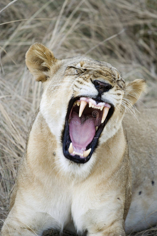 Download Lioness showing teeth stock photo. Image of dangerous - 5651472