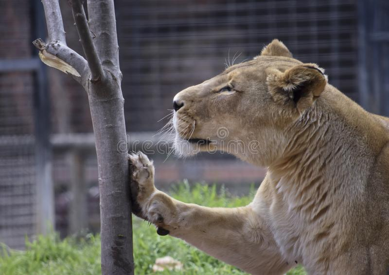 Lioness leaning on a tree stock image