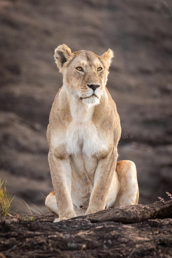 Lioness sits on rock by grass tuft royalty free stock image