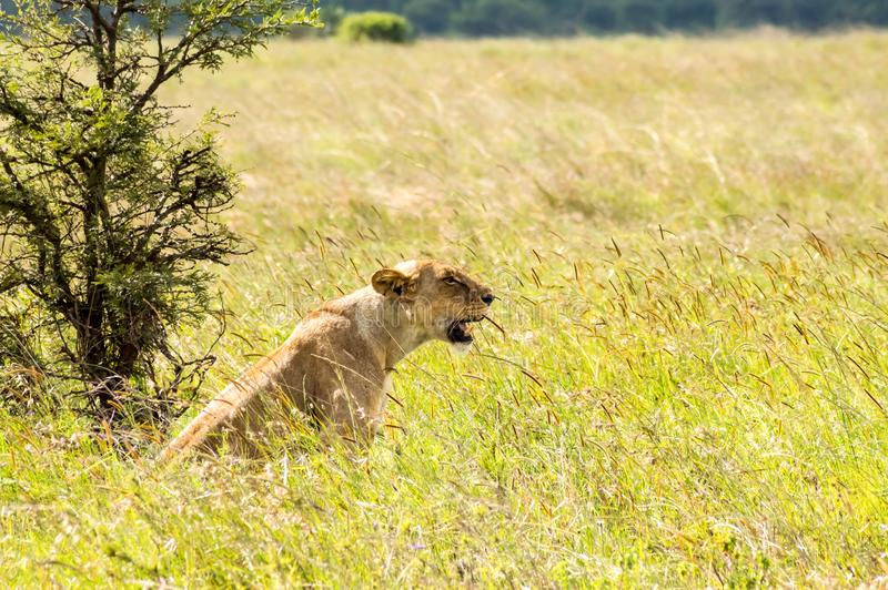 Lioness sitting in the savannah of Nairobi stock photo